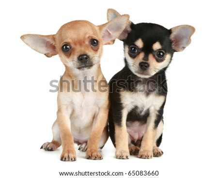Two funny puppies chihuahua (2 months) sit on a white background - stock photo