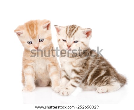 two funny tabby kittens. isolated on white background - stock photo