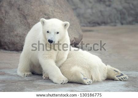 Two funny white polar bears - stock photo