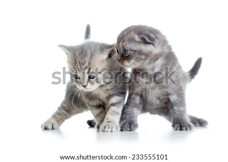two funny young cat kittens playing together - stock photo