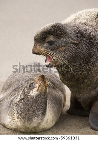 Two fur seals - stock photo