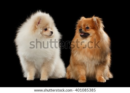 Two Furry Cute White and Red Pomeranian Spitz Dogs Sitting, Looking at each other isolated on Black Background in Front view - stock photo