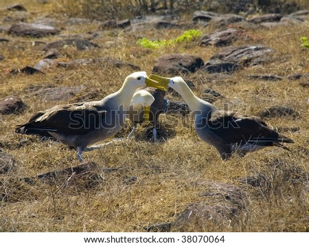 Two Galapagos Waved Albatrosses competing for the attention of a female - stock photo