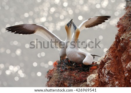 Two gannets. Bird landind to the nest with female sitting on the egs. Wildlife scene from nature. Sea bird on the rock cliff. Coast wildlife with two bird. Northern Gannet. Beautiful birds in love. - stock photo