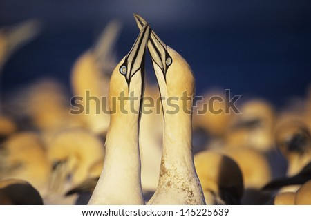 Two Gannets courting near colony - stock photo