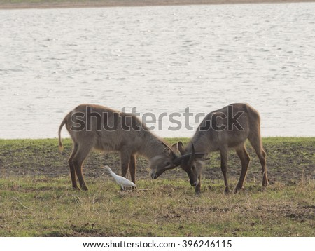 two gazelles on the African savannah  - stock photo