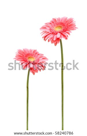 two gebera (african daisy) isolated on white - stock photo