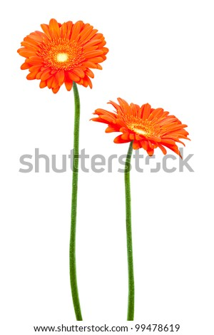 two geberas (african daisy) isolated on white - stock photo