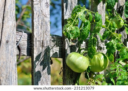 two geen tomatos - stock photo