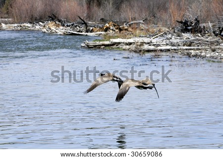 Two geese flying over a river. - stock photo