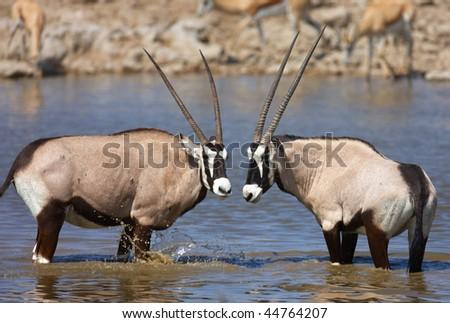 Two Gemsbok antelopes standing in a waterhole to drink; Etosha; oryx gazella - stock photo