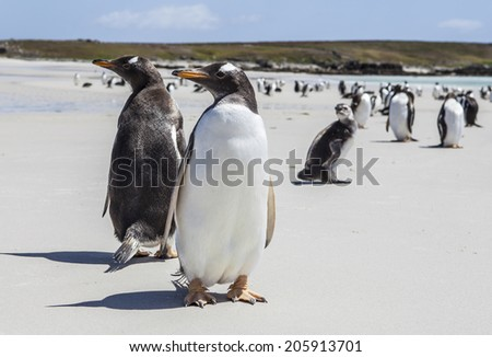 Two Gentoo Penguins at Falklands Islands. Photographed at North Pond, in the north coast of East Falkland. - stock photo