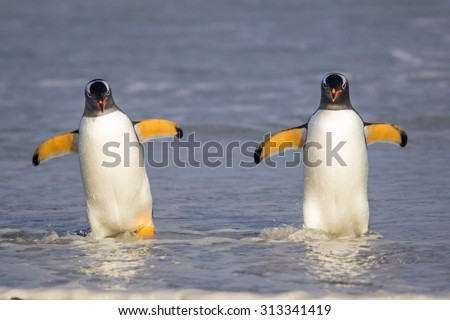 Two Gentoo Penguins coming in from fishing. Falkland Islands. - stock photo