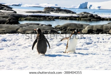 Two gentoo penguins or pygoscellis papua are walking in different directions in Antarctica. There are sea, rocks and snow in the background. Sunny day. - stock photo