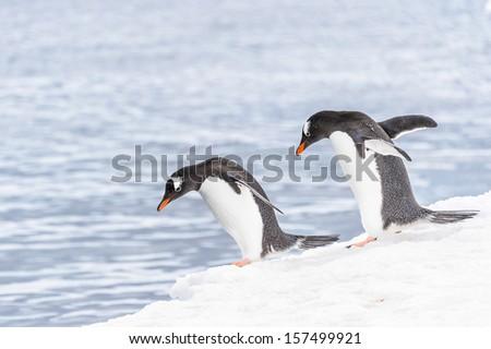 Two gentoo penguins  (Pygoscelis papua) - stock photo