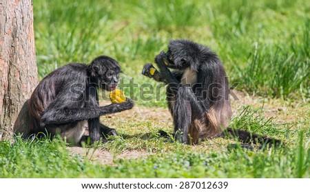 Two Black Monkeys Two Geoffroy 39 s Spider Monkeys
