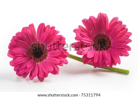 Two gerbera daisy flowers on white background - stock photo
