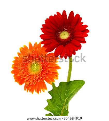 Two gerbera flower, Isolated on white background - stock photo