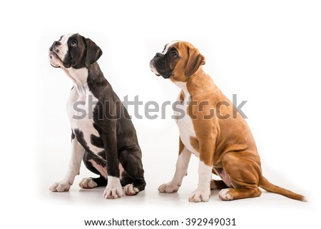 Two german boxer puppy