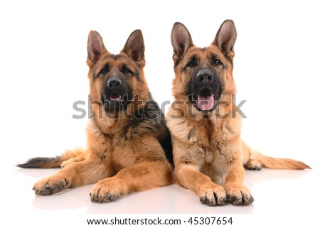 Two german shepherd dogs on a white background.
