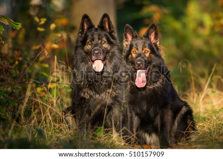 two German Shepherd dogs sitting together in the forest
