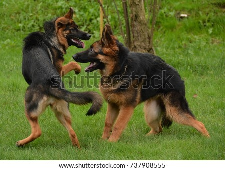 Two german shepherd puppies playfully playing with each other in a grass field on a summer day