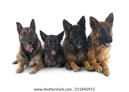 two german shepherds, a malinois and a dutch shepherd in front of white background - stock photo