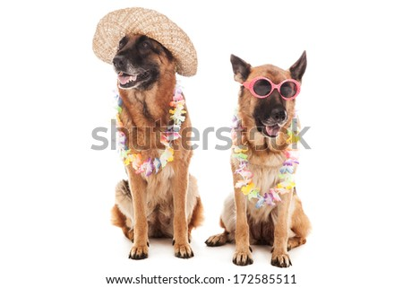 Two german shepherds in hawaiian style over white isolated background  - stock photo