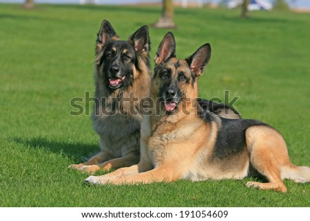 Two German Shepherds laying together side by side in the grass in the summer. - stock photo