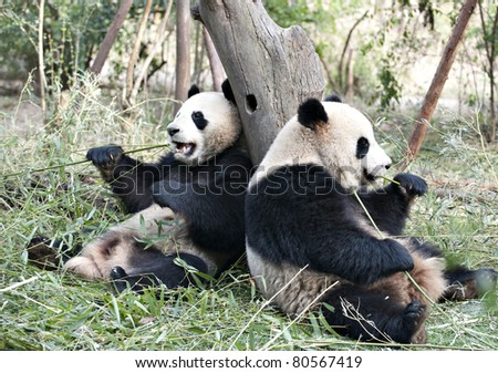 two Giant panda are eating bamboo leaves. - stock photo