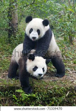 Two giant panda bears playing - stock photo
