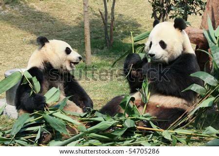 Two giant panda eating - stock photo