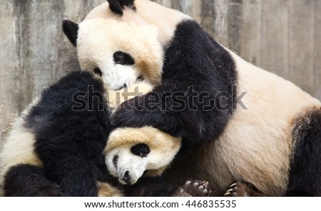 Two giant pandas playing together - stock photo