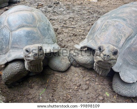Two Giant Turtles on Seychelles, Indian Ocean, Africa - stock photo