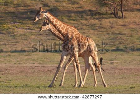 Two giraffe (Giraffa camelopardalis) in Kgalagadi, South Africa - stock photo