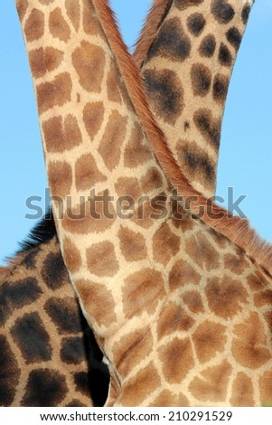 Two giraffe in this unique image showing off their patterns. - stock photo