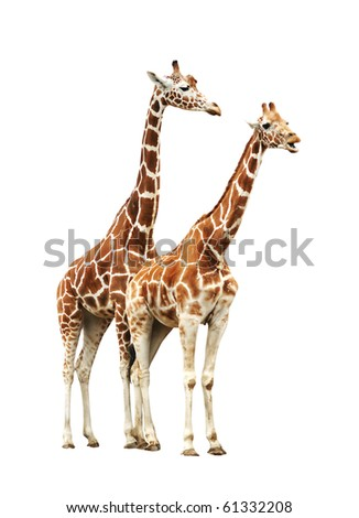 Two giraffe isolated on white background - stock photo