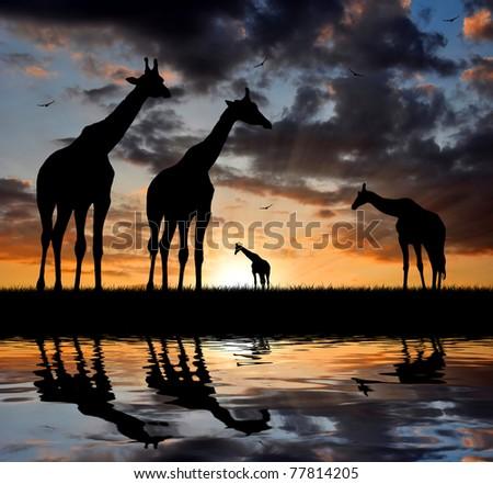Two giraffe over sunrise - stock photo