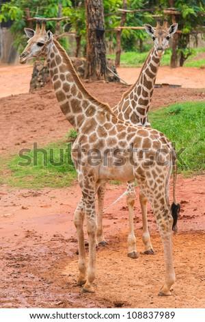 Two giraffes - stock photo
