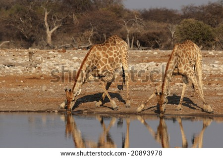 Two Giraffes drinking at the waterhole in the Etosha National Park, Namibia - stock photo