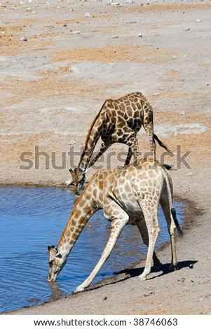 two giraffes drinking water from a water hole - stock photo
