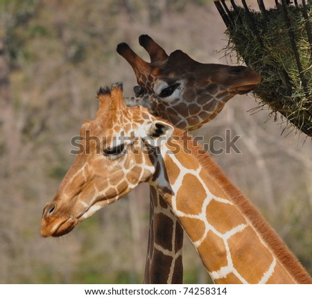 Two giraffes eating hay from feeder at zoo - stock photo