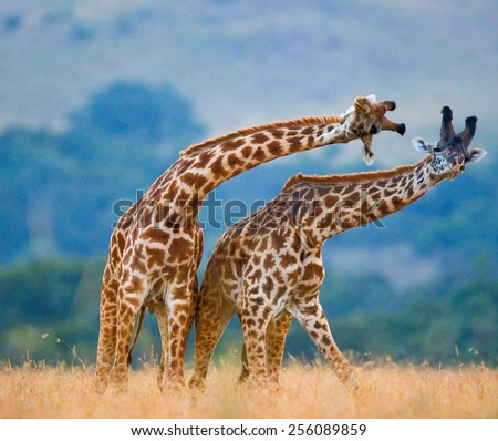 Two giraffes fighting each other in Kenya, in the Masai Mara National Park. This is the part of a dance of two giraffes. - stock photo