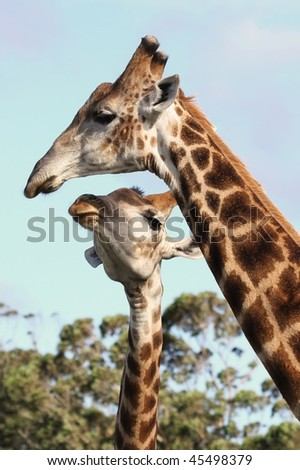 Two giraffes from Africa showing some affection