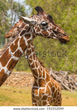 two giraffes in nature, summer day