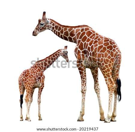 two giraffes isolated - stock photo