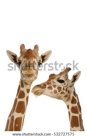 Two Giraffes Isolated on White Background