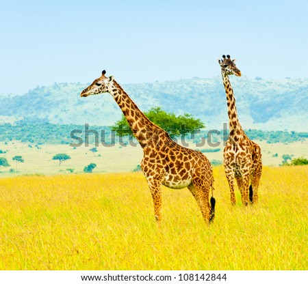 Two giraffes, Kenya