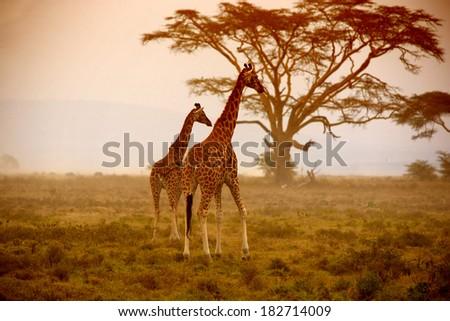 Two giraffes, Nakuru Kenya - stock photo