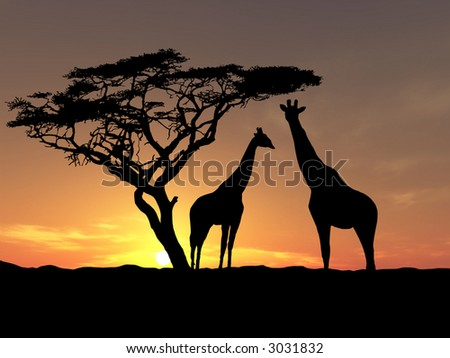 Two giraffes over sunrise near acacia - stock photo